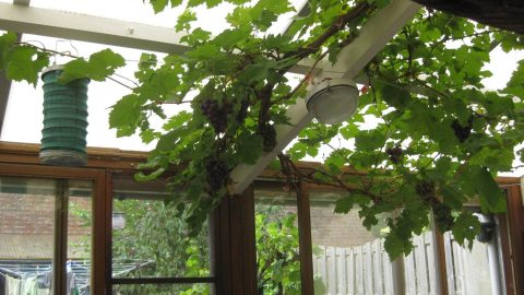 Het verhaal van de herfst en de naar binnen groeiende druivelaar